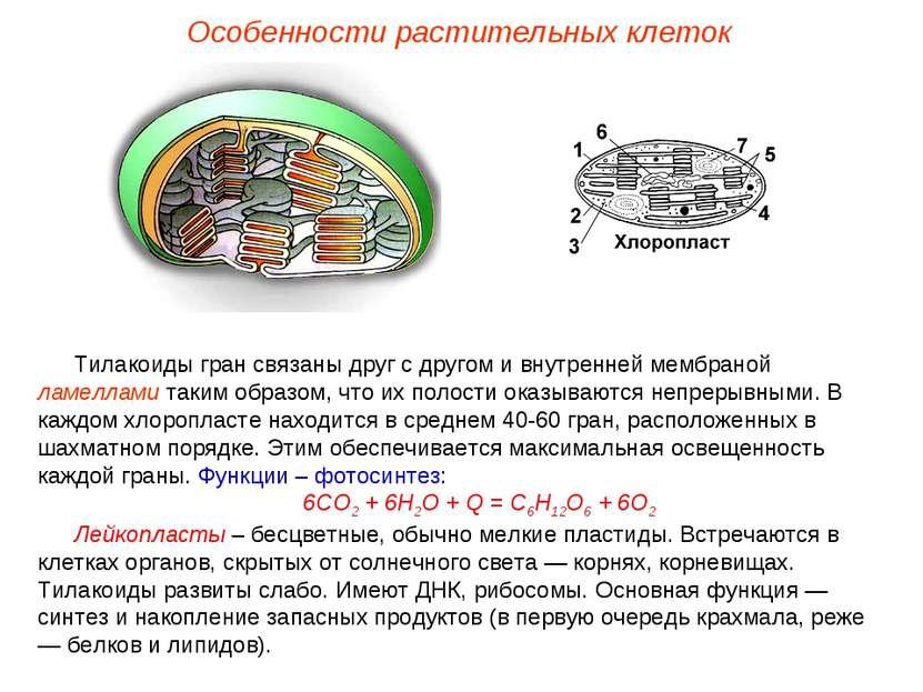 Тилакоиды гран связаны друг с другом и внутренней мембраной ламеллами таким о...