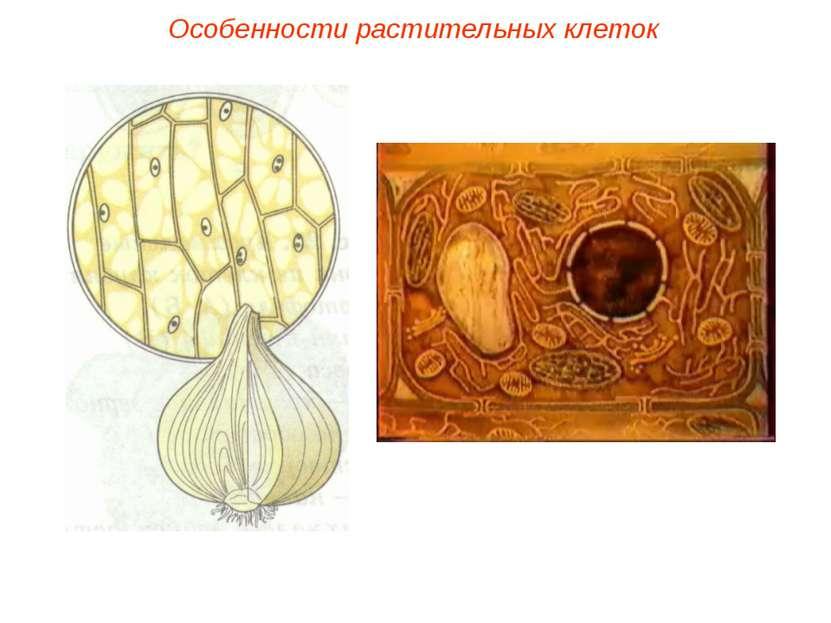 Особенности растительных клеток