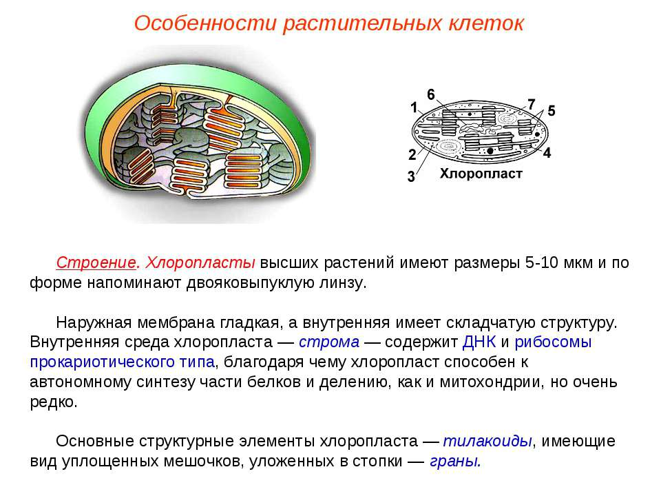 Строение. Хлоропласты высших растений имеют размеры 5-10 мкм и по форме напом...