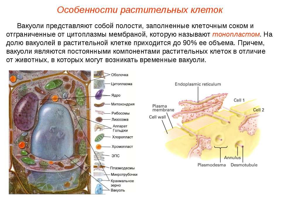 Вакуоли представляют собой полости, заполненные клеточным соком и отграниченн...
