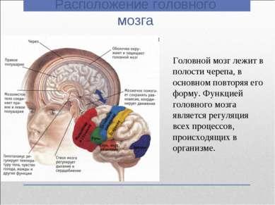 Расположение головного мозга Головной мозг лежит в полости черепа, в основном...
