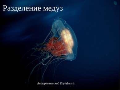 Антарктический Diplulmaris Антарктический Diplulmaris Разделение медуз