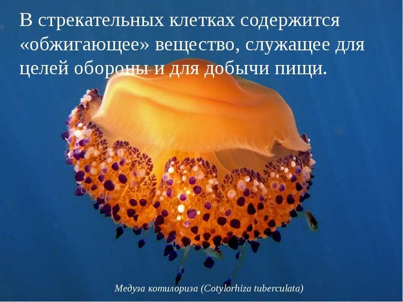 Медуза котилориза (Cotylorhiza tuberculata) В стрекательных клетках содержитс...