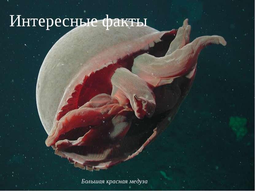 Интересные факты Большая красная медуза