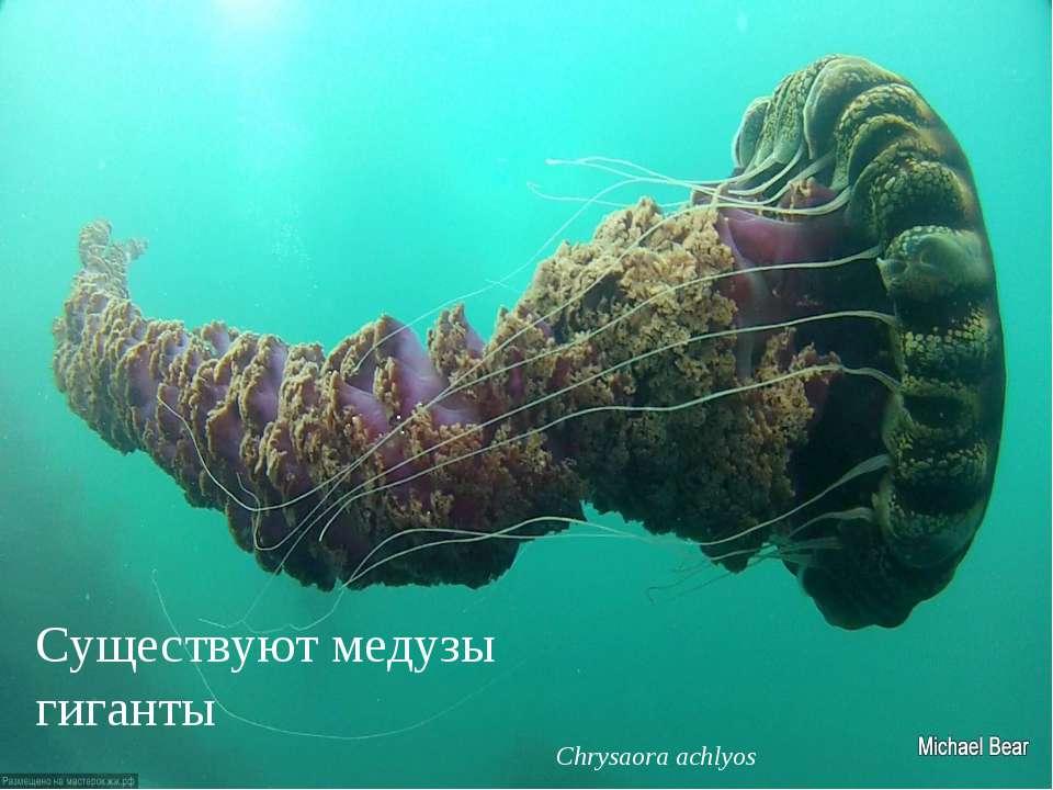 Существуют медузы гиганты Chrysaora achlyos