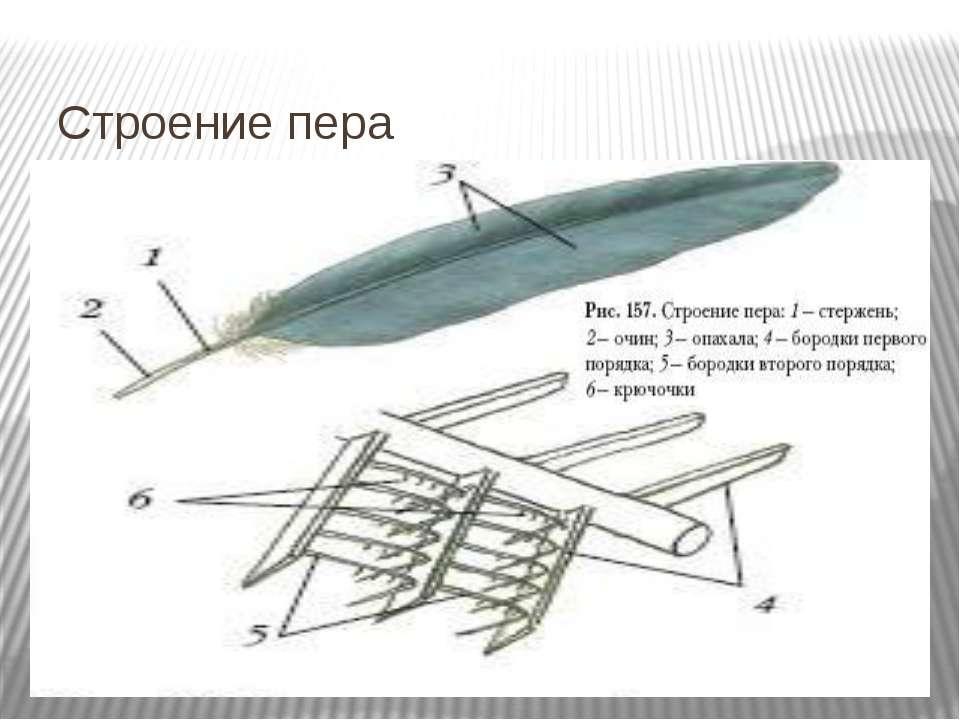 Строение пера
