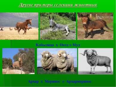 Архар х Меринос = Архармеринос Другие примеры селекции животных Кобылица х Ос...