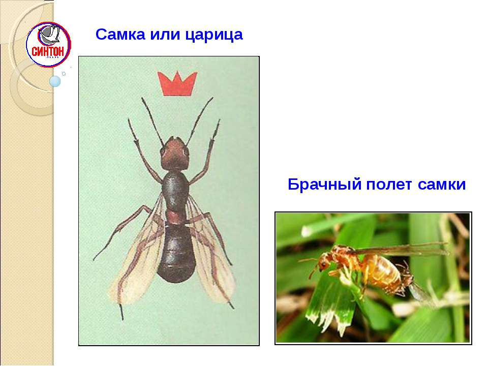Самка или царица Брачный полет самки