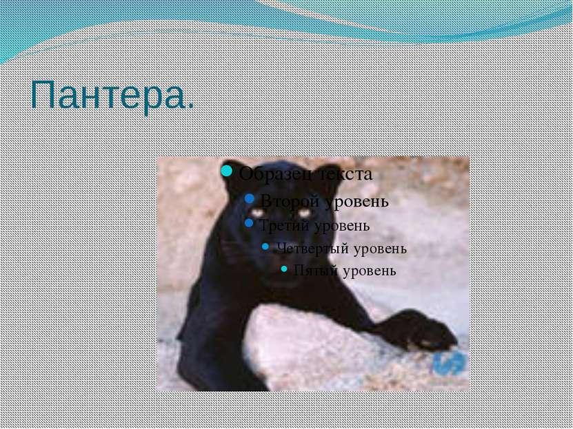Пантера.