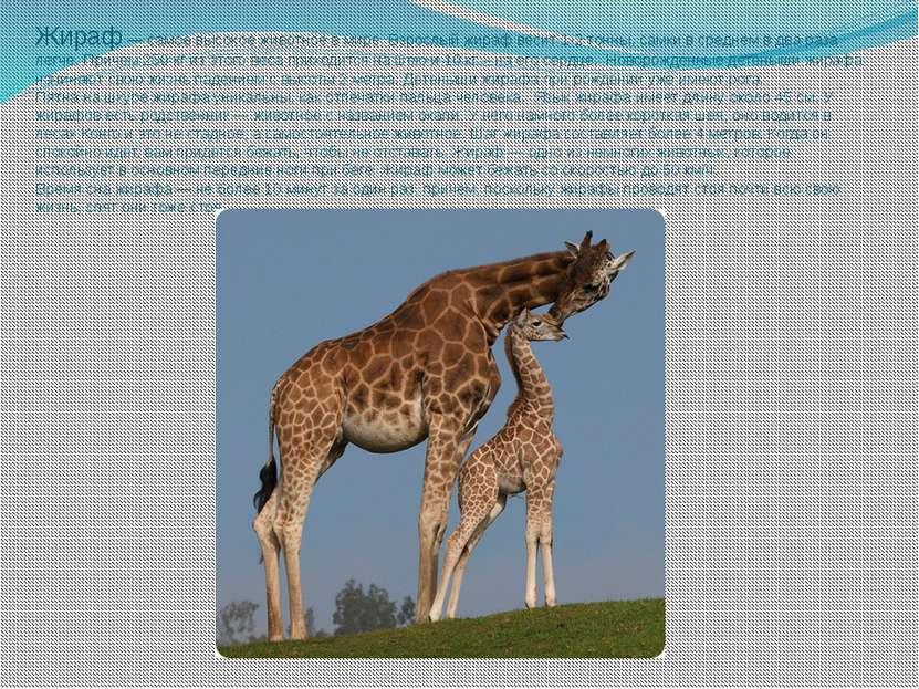 Жираф — самое высокое животное в мире. Взрослый жираф весит 1-2 тонны, самки ...