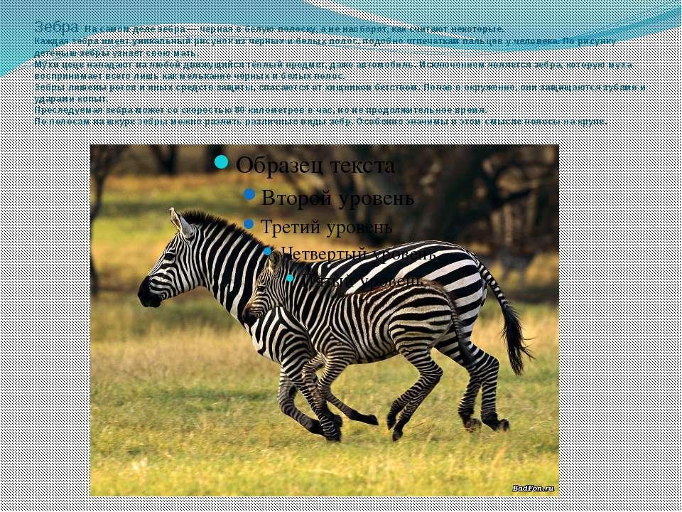 Зебра: На самом деле зебра — чёрная в белую полоску, а не наоборот, как счита...
