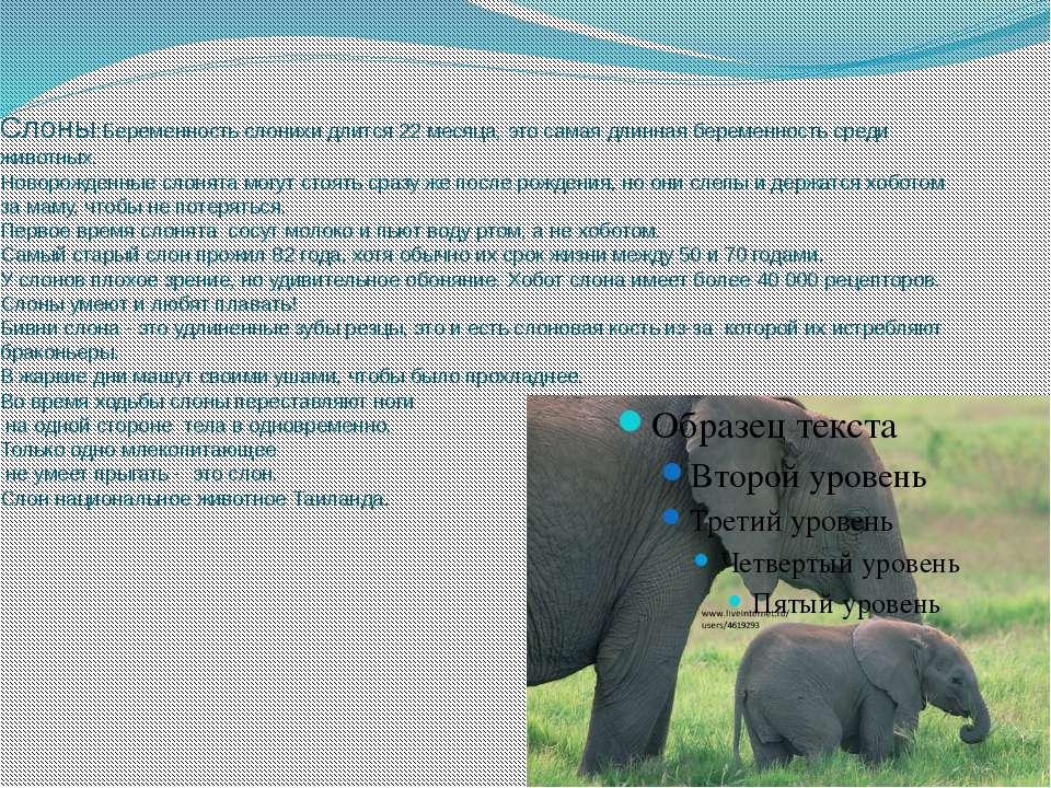 Слоны:Беременность слонихи длится 22 месяца, это самая длинная беременность с...
