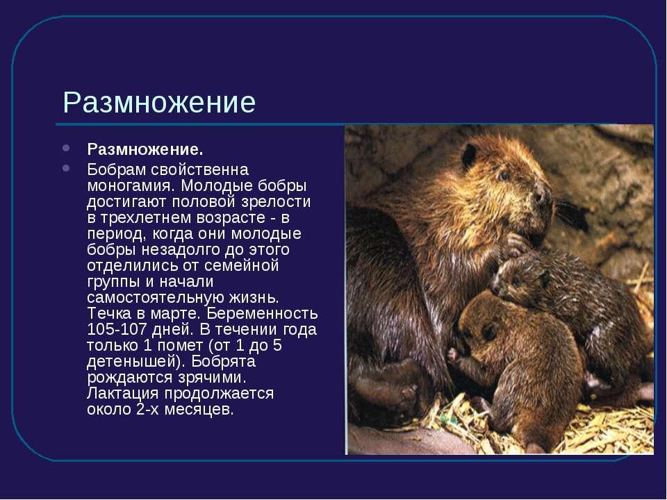Размножение Размножение. Бобрам свойственна моногамия. Молодые бобры достигаю...