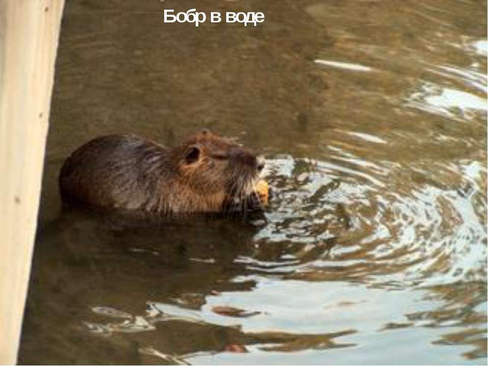 Бобр в воде  Бобр в воде
