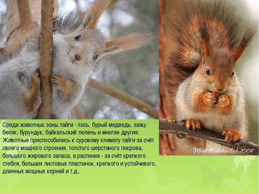 Среди животных зоны тайги - лось, бурый медведь, заяц-беляк, бурундук, байкал...