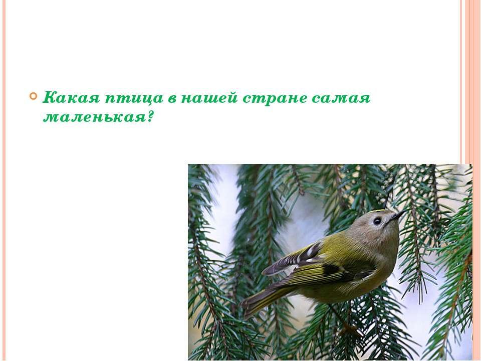 Какая птица в нашей стране самая маленькая?
