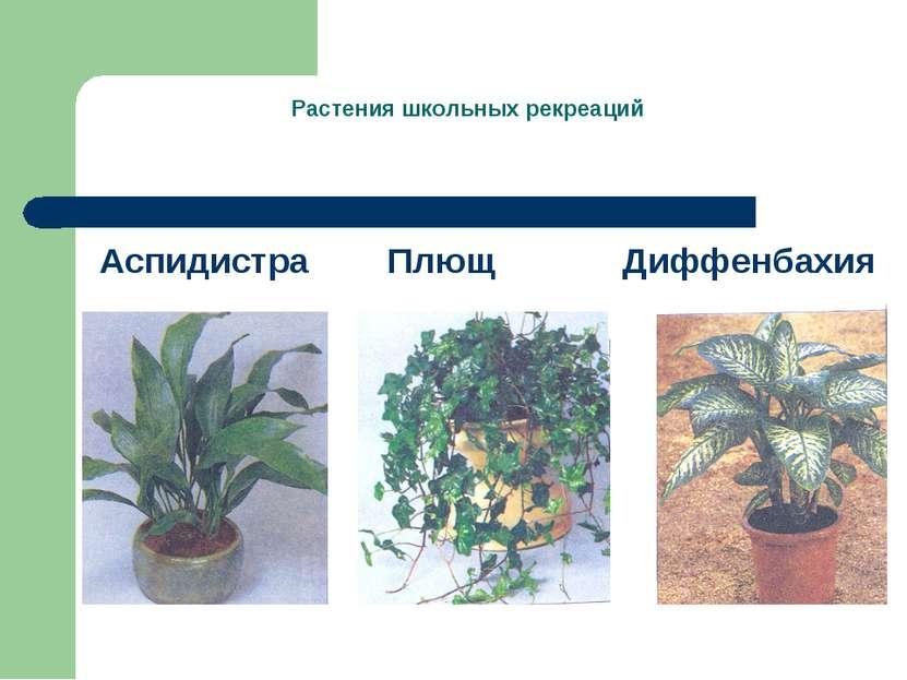 Растения школьных рекреаций Аспидистра Плющ Диффенбахия