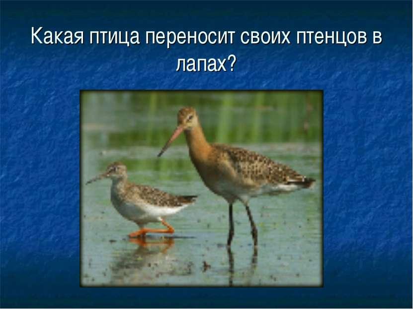 Какая птица переносит своих птенцов в лапах?
