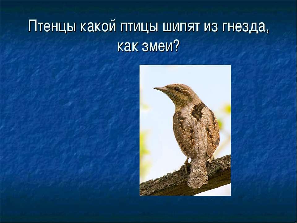 Птенцы какой птицы шипят из гнезда, как змеи?