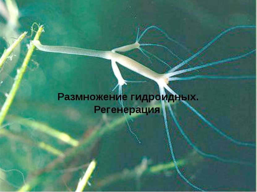 Размножение гидроидных. Регенерация.