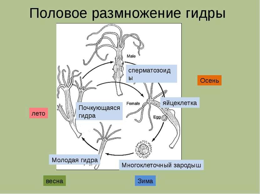 сперматозоиды яйцеклетка Многоклеточный зародыш Молодая гидра Почкующаяся гид...