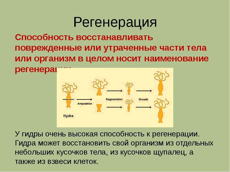 Регенерация Способность восстанавливать поврежденные или утраченные части тел...
