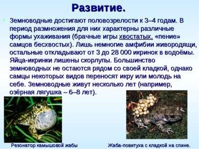 Развитие. Земноводные достигают половозрелости к 3–4 годам. В период размноже...