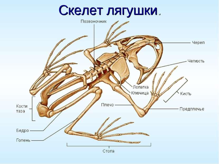Скелет лягушки.