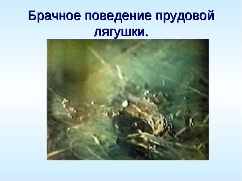 Брачное поведение прудовой лягушки.