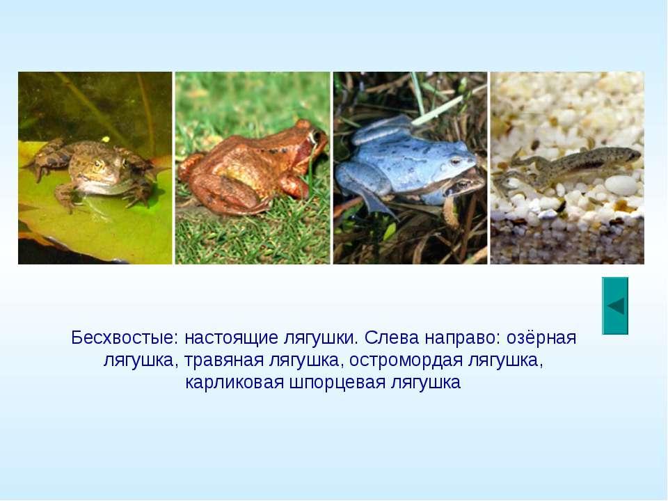 Бесхвостые: настоящие лягушки. Слева направо: озёрная лягушка, травяная лягуш...