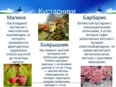 Кустарники Малина Листопадный кустарник с многолетним корневищем, из которого...