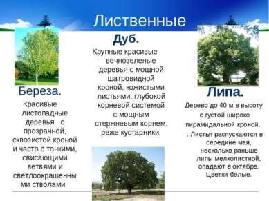 Лиственные Липа. Дерево до 40 м в высоту с густой широко пирамидальной кроной...