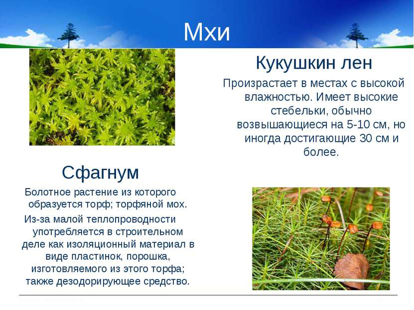 Мхи Сфагнум Болотное растение из которого образуется торф; торфяной мох. Из-з...