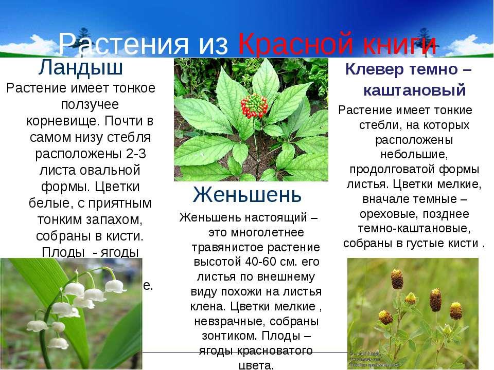 Растения из Красной книги Ландыш Растение имеет тонкое ползучее корневище. По...