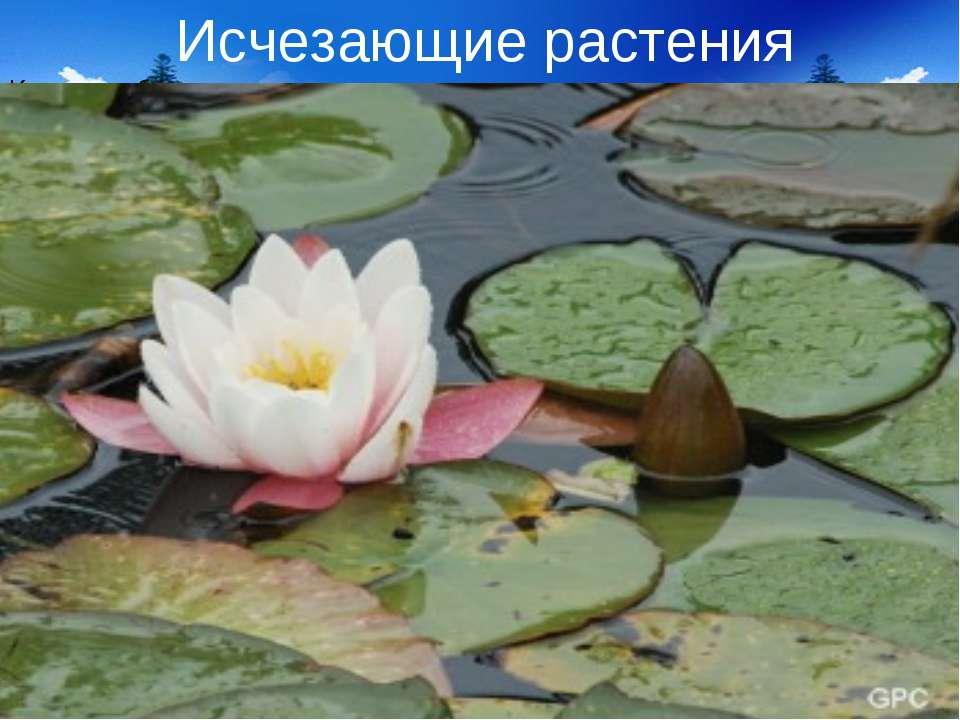 Исчезающие растения Кувшинка белая – это многолетнее травянистое растение, в ...