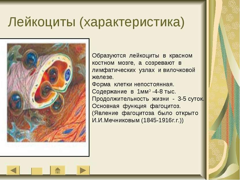 Лейкоциты (характеристика) Образуются лейкоциты в красном костном мозге, а со...