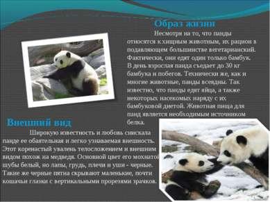 Образ жизни Несмотря на то, что панды относятся к хищным животным, их рацион ...