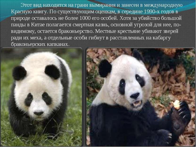 Этот вид находится на грани вымирания и занесен в международную Красную книгу...
