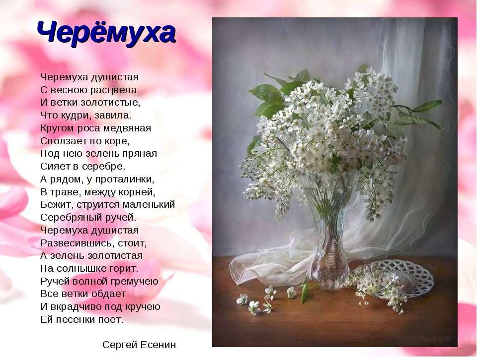 Черёмуха Черемуха душистая С весною расцвела И ветки золотистые, Что кудри, з...