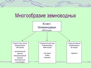 Многообразие земноводных Класс Земноводные 2400 видов Отряд Хвостатые земново...
