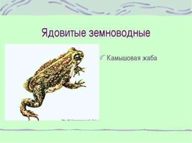 Ядовитые земноводные Камышовая жаба
