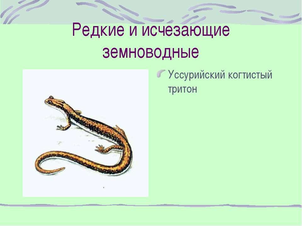 Редкие и исчезающие земноводные Уссурийский когтистый тритон
