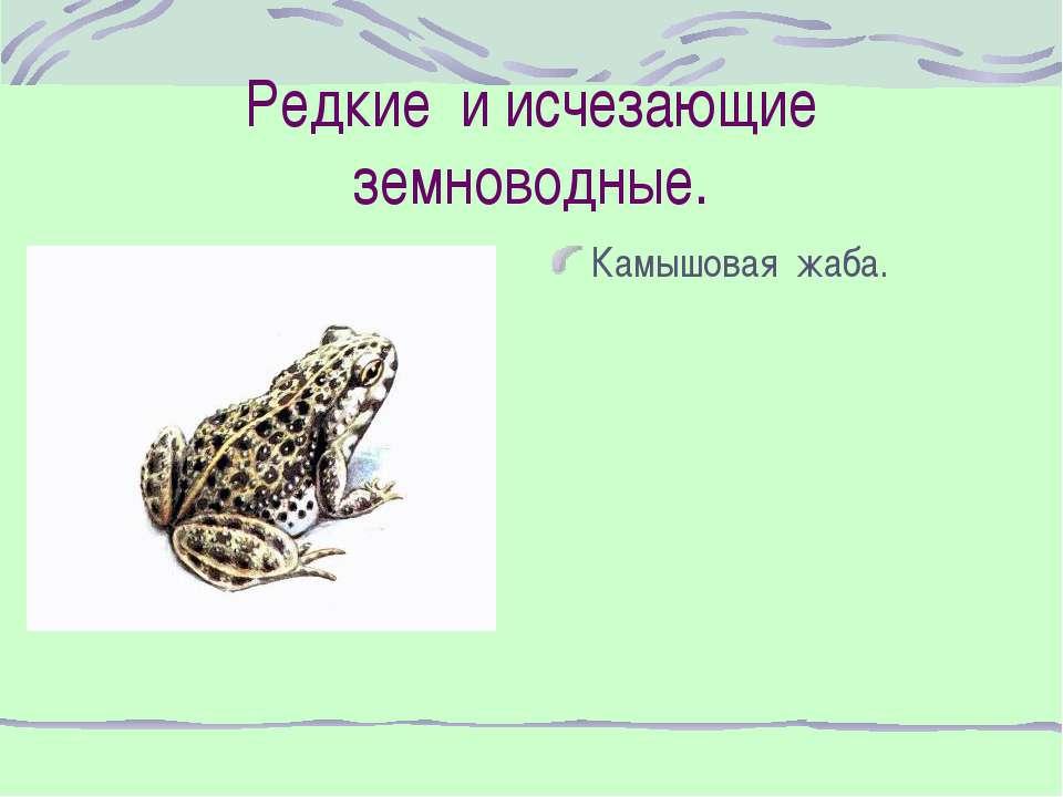 Редкие и исчезающие земноводные. Камышовая жаба.