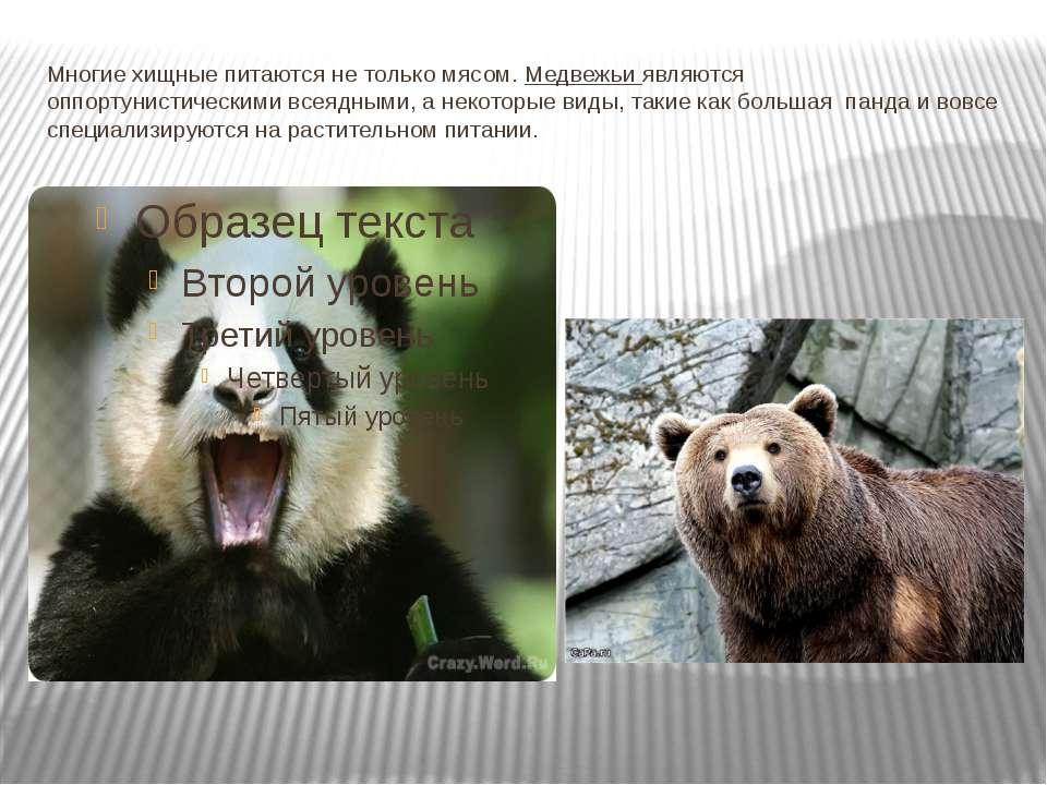 Многие хищные питаются не только мясом.Медвежьи являются оппортунистическими...