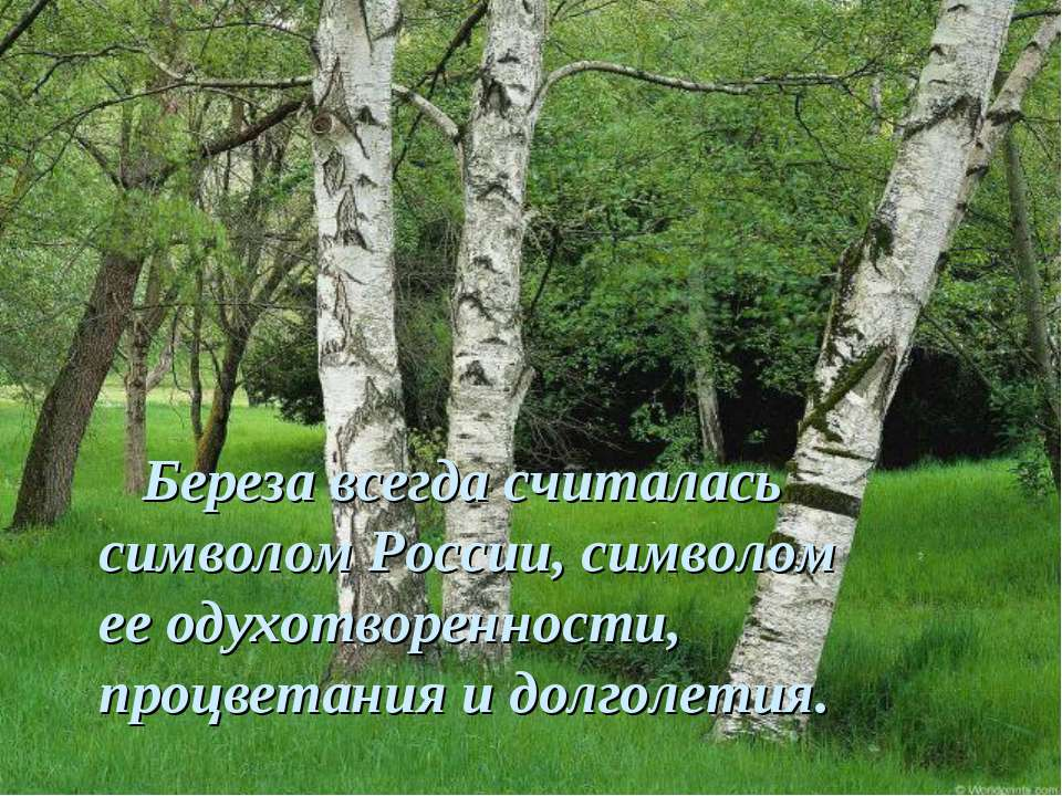 Береза всегда считалась символом России, символом ееодухотворенности, процве...