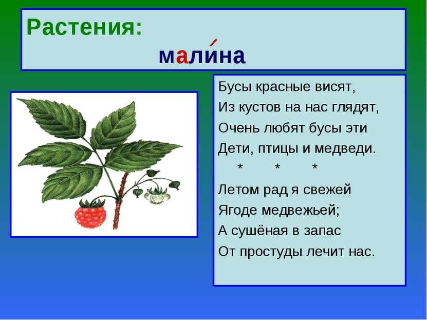 Растения: малина Бусы красные висят, Из кустов на нас глядят, Очень любят бус...