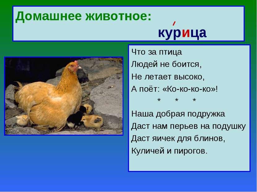 Домашнее животное: курица Что за птица Людей не боится, Не летает высоко, А п...