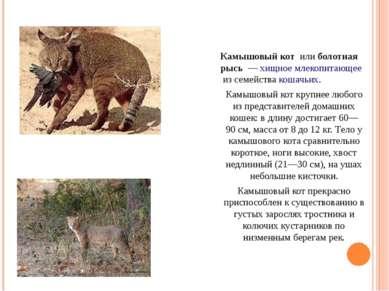 Камышовый кот илиболотная рысь —хищноемлекопитающееиз семействакошачьих...