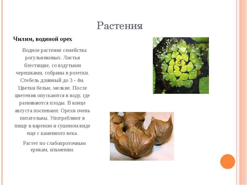 Растения Чилим, водяной орех Водное растение семейства рогульниковых. Листья ...
