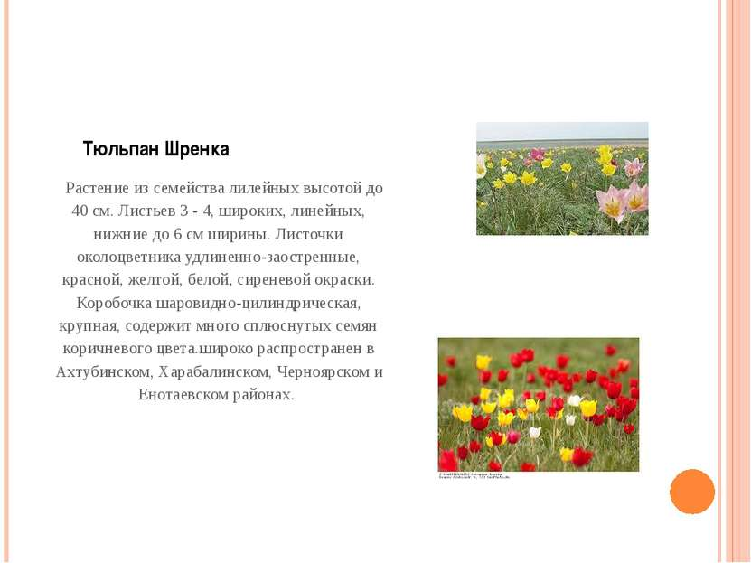 Тюльпан Шренка Растение из семейства лилейных высотой до 40 см. Листьев 3 -...